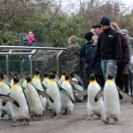 penguins-going-for-walk-round-the-zoo
